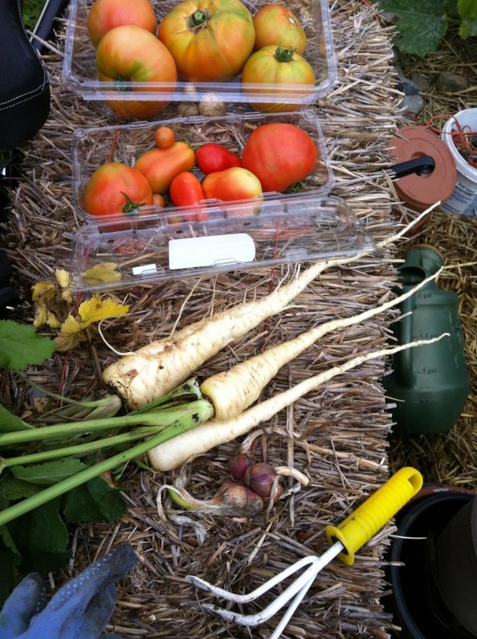 The Entire Parsnip Harvest 2013