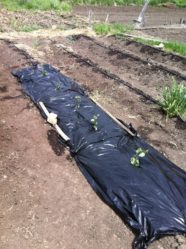 Freshly planted sweet potato slips